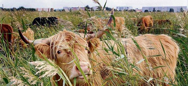 В Пярну при помощи коров привели в порядок 220 гектаров берегового луга