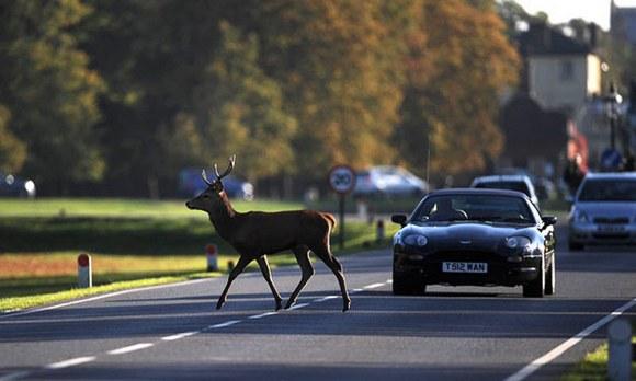 На дорогах Пярнумаа есть вероятность столкновения с животными