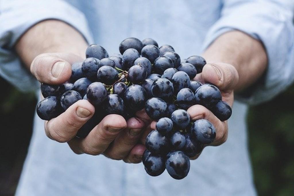 Виноград в Эстонии: на плантации в Пярнумаа выращивается более 80 сортов